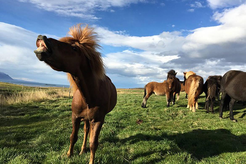 Islandpferde_Herde.jpg